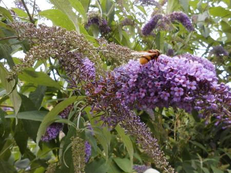 Sommerflieder mit Biene