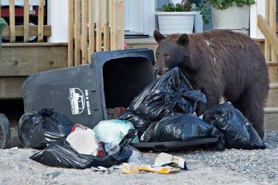 Schwarzbär plündert Müll