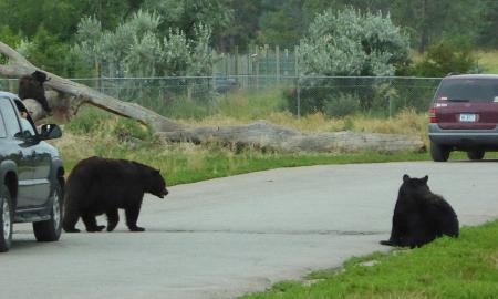 Schwarzbären auf der Straße