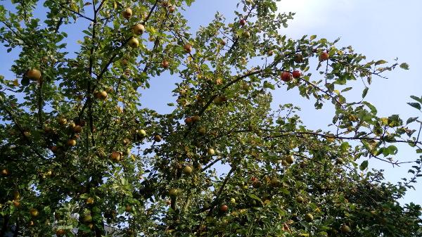 Apfelbaum liefert Äpfel für viele Kuchen. Z.B. Bolo de Maçãs - Apfelkuchen aus Portugal