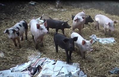 Ferkel auf der Gubbeen Farm