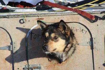 Ein Husky schaut aus seiner Box im Dog Truck