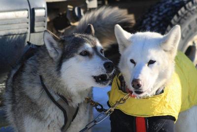 Schlittenhunde beim Yukon Quest