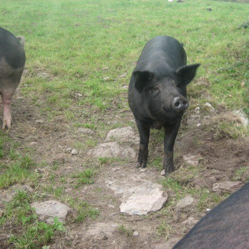 schweine_09