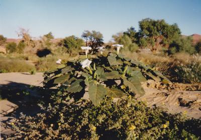 Calla im Flussbett, Namibia