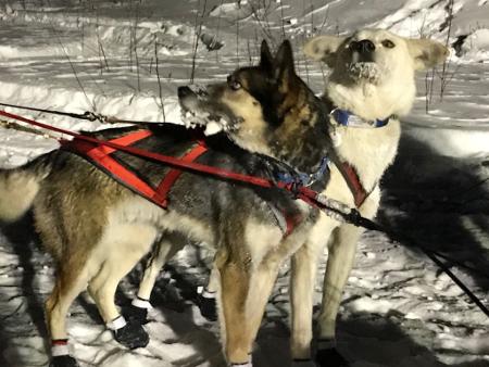Hunde Yukon Quest 2018