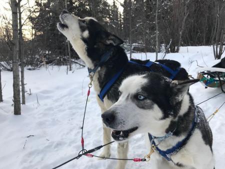 Alascan Huskies