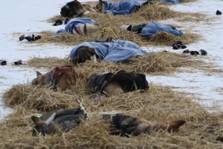 Schlafende Huskies beim Yukon Quest
