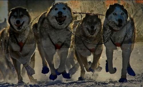 Schlittenhunde auf Insel Usedom