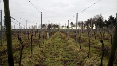 Weinanbau auf Insel Föhr
