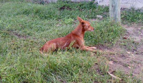 Hund in Dar es Salaam, Stadtteil Quappi Pilipili