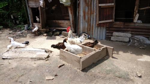 Tauben, Hühner und Hahn auf Eazy`s Place, Hostel Dar es Salaam