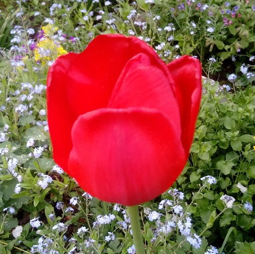 tulpe_rot_einzeln_xl