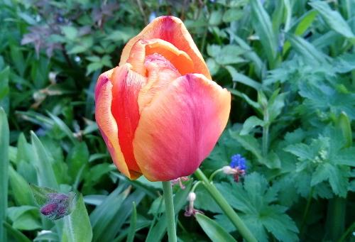 Tulpe - blue blog