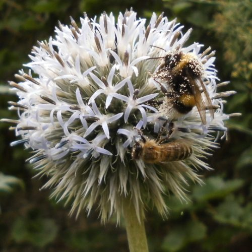 biene_hummel_distel_xl