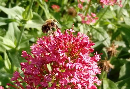 Biene landet auf Spornblume