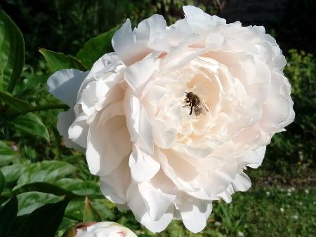 Biene auf einer Pfingstrose