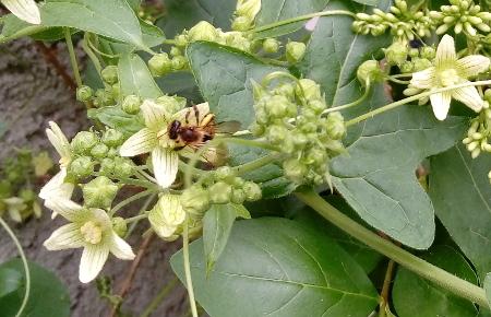 Biene an einer Blüte der Zaunrübe