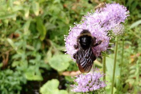 Holzbiene auf Teufelsabbiss