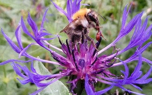 Biene auf einer Blüte der Flockenblume