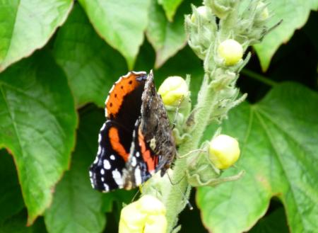 Schmetterling an der Blüte einer Prachtkönigskerze